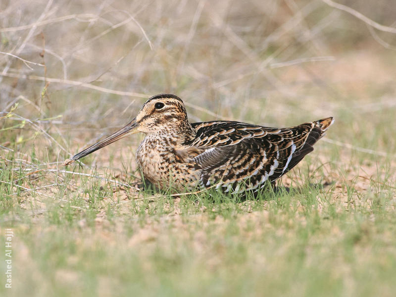 Great Snipe