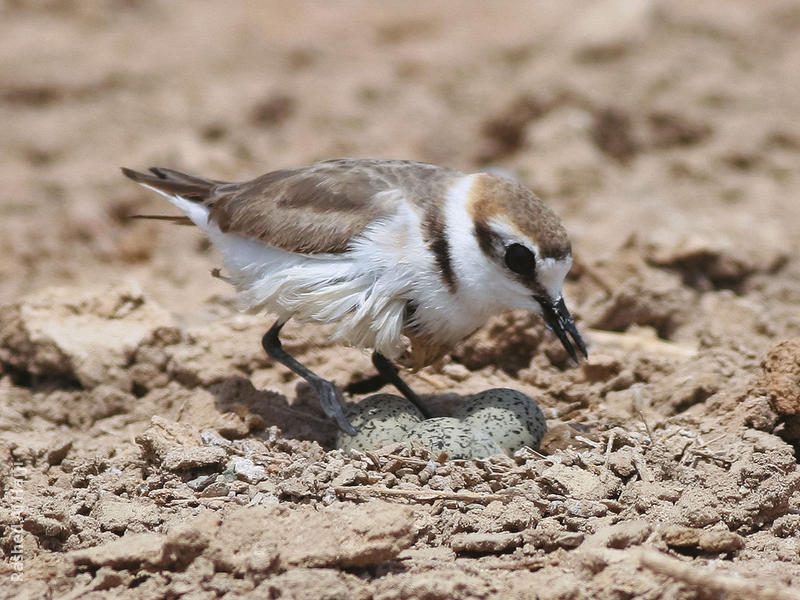Kentish Plover (Female at nest)