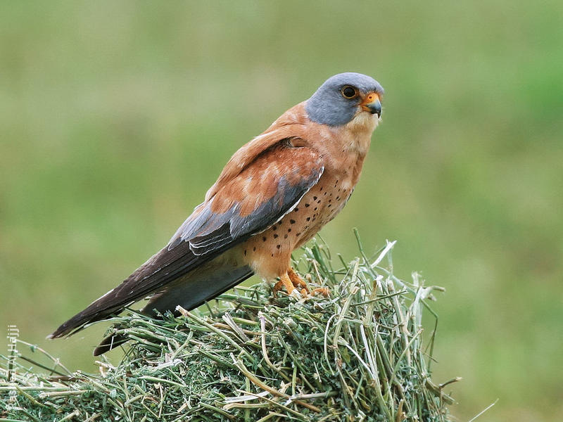 Lesser Kestrel (Male)
