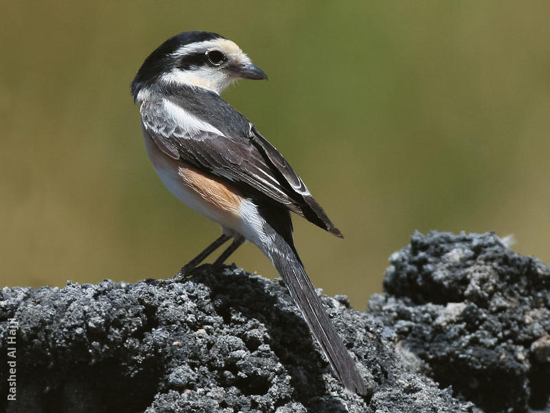 Masked Shrike (Female)
