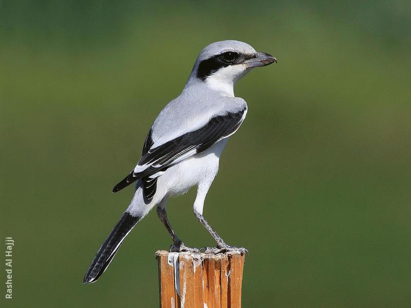 Mauryan Grey Shrike