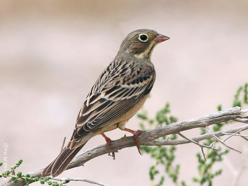 Ortolan Bunting (Female)