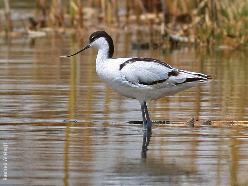 Pied Avocet (Female)