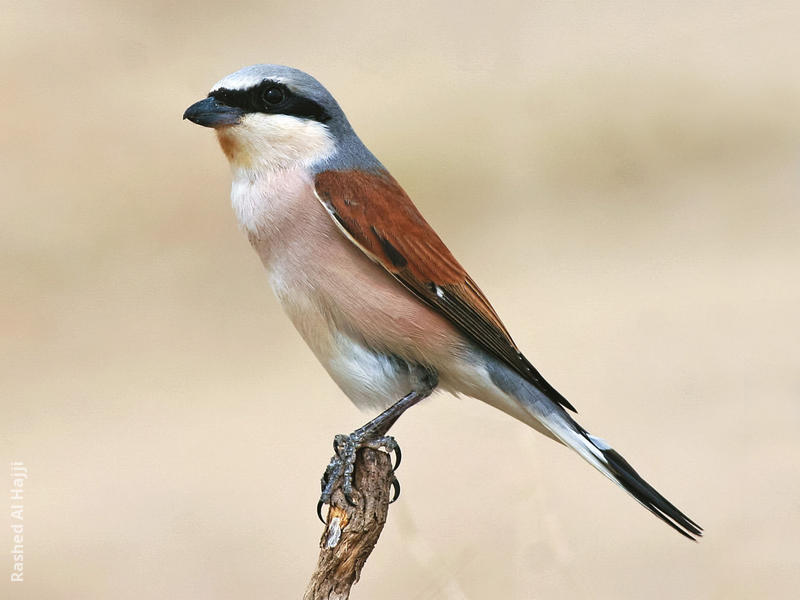 Red-backed Shrike (Male)