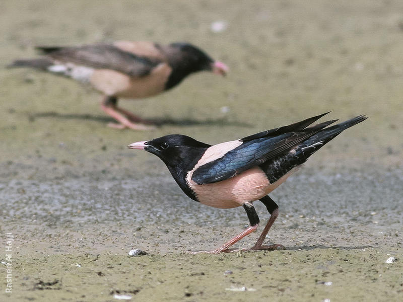 Rose-coloured Starling (Males spring)