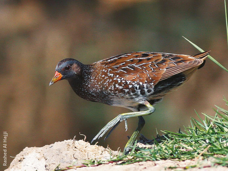 Spotted Crake (Breeding plumage)