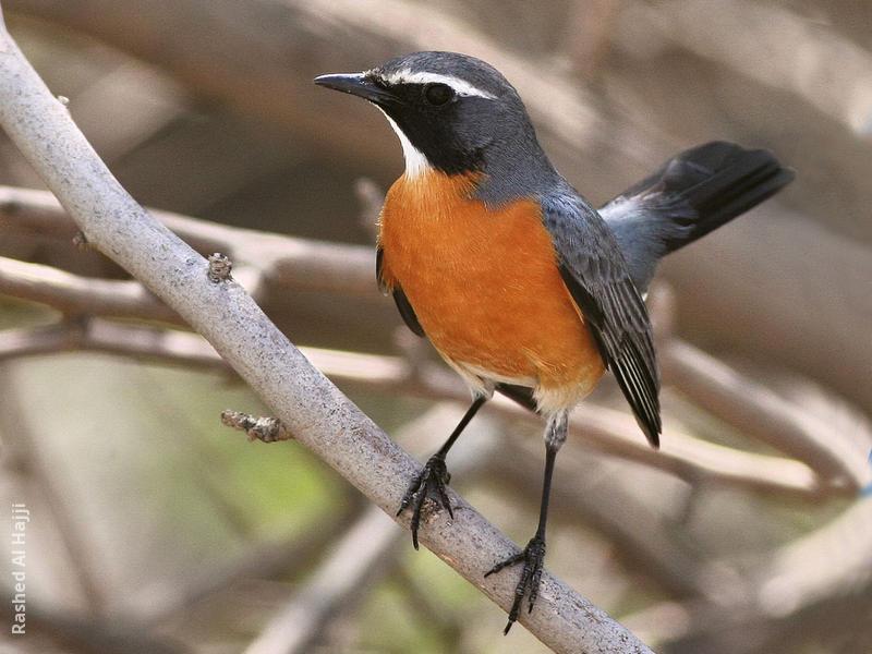White-throated Robin (Male)