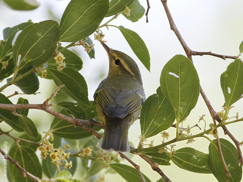 Green Warbler (Al Abraq, Oct 2013)