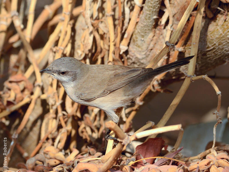 Desert Whitethroat (UAE)