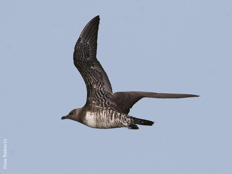 Long-tailed Skua (Immature,UAE)