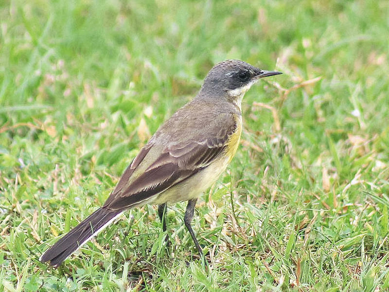 Eastern Black-headed Wagtail (female, INDIA)