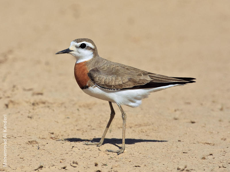 Caspian Plover (Breeding plumage)
