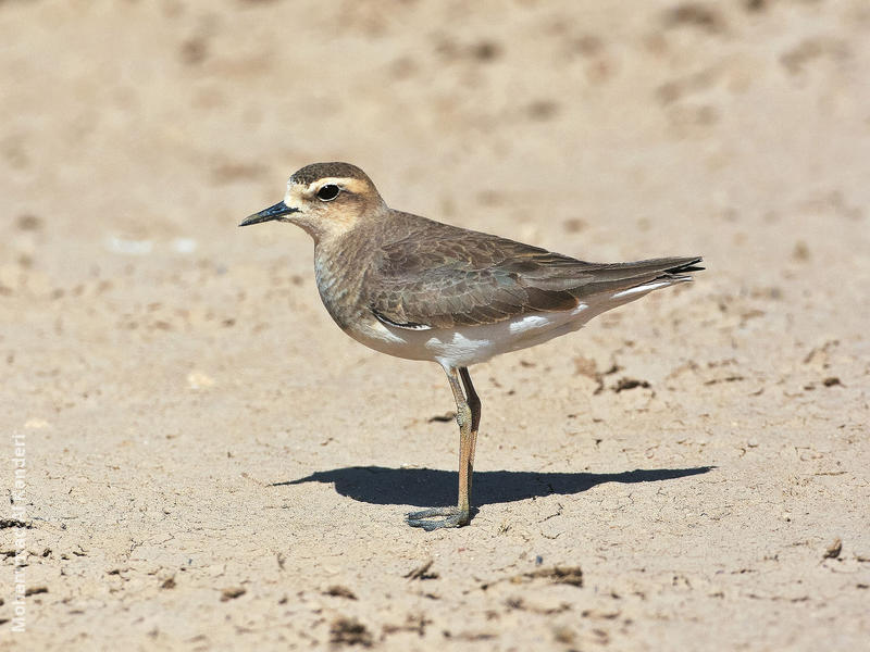 Caspian Plover (Female)