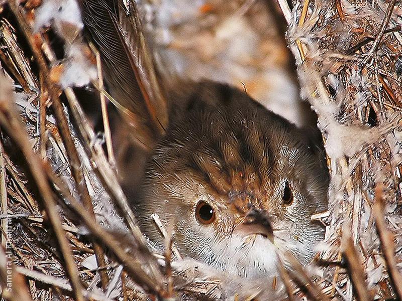 Graceful Prinia (in nest)