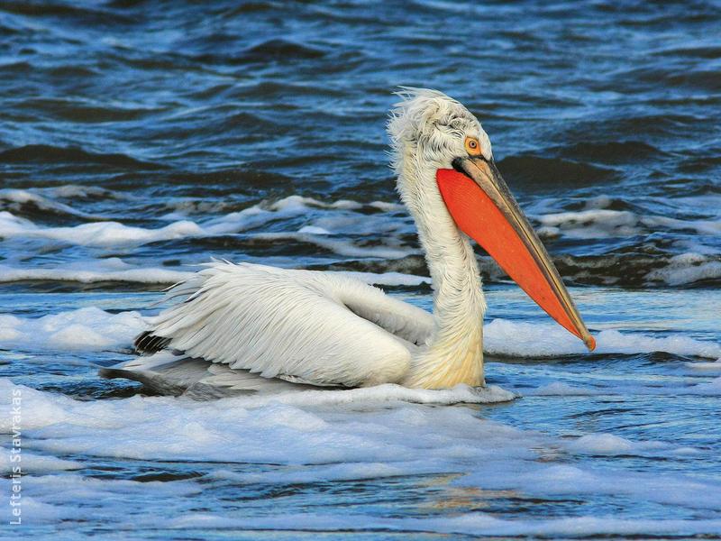 Dalmatian Pelican (Breeding plumage,GREECE)