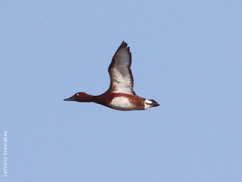 Ferruginous Duck (Male,GREECE)