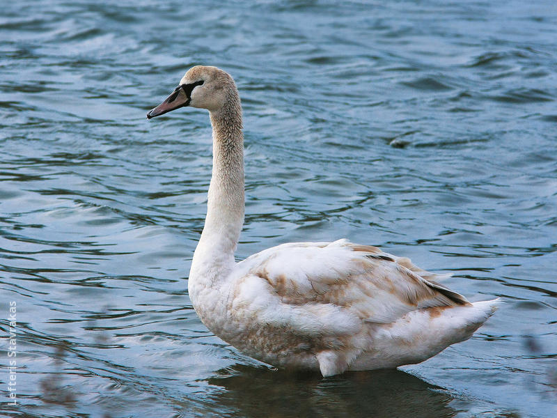 Mute Swan (Juvenile,GREECE)