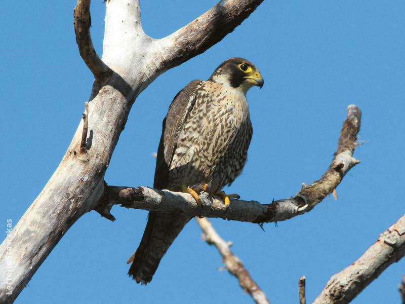 Peregrine Falcon (Immature,GREEECE)