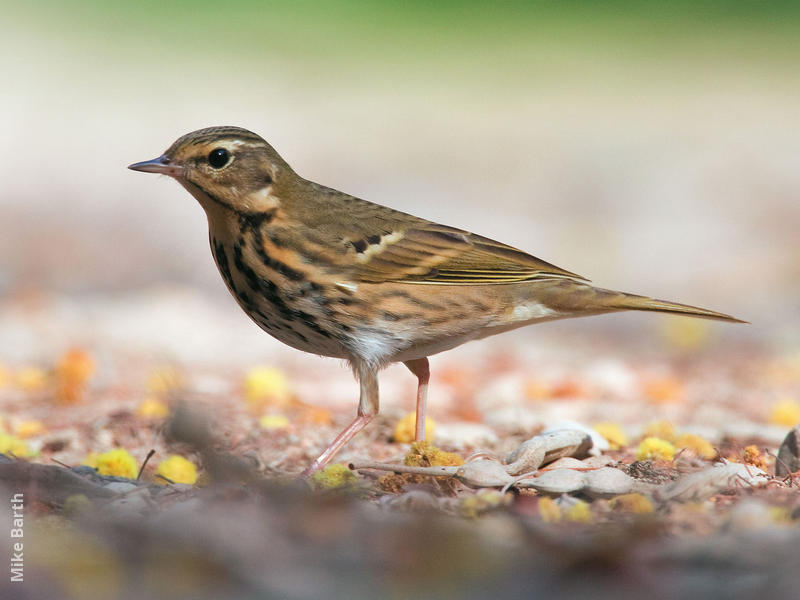 Olive-backed Pipit (UAE)