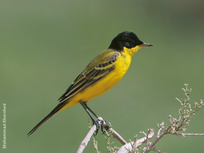 Black-headed Wagtail (Male)