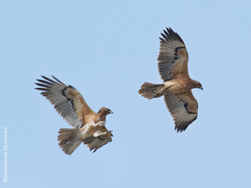 Bonelli's Eagle (Immatures)