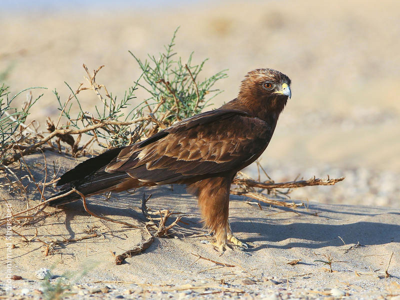 Booted Eagle (Dark morph)