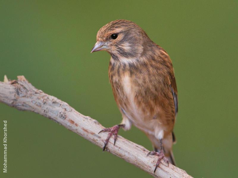 Common Linnet (Non-breeding plumage)