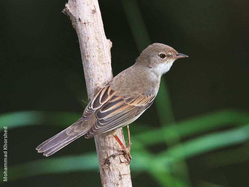 Common Whitethroat (Female or immature male)