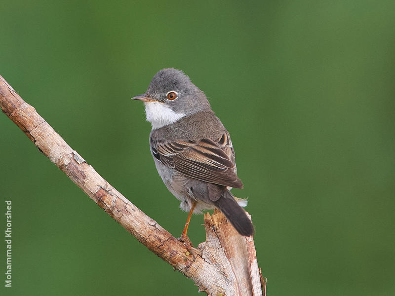 Common Whitethroat (Male)