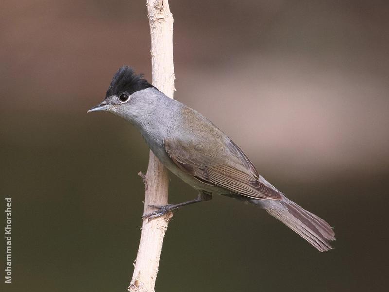 Eurasian Blackcap (Male)