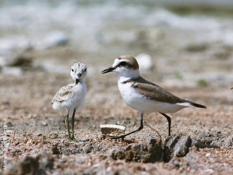 Kentish Plover (Female with fledgling)