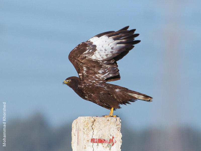 Long-legged Buzzard (Dark morph)