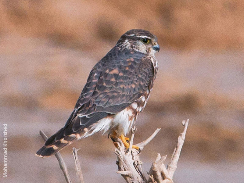 Merlin (Immature male)