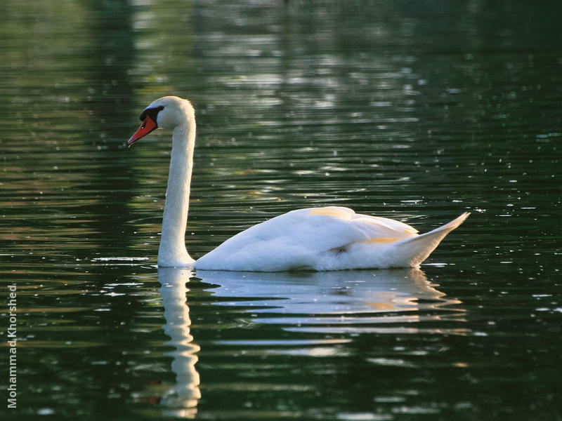 Mute Swan (GERMANY)