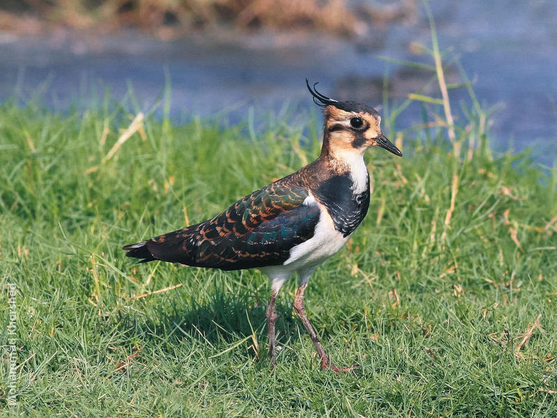 Northern Lapwing (Winter)