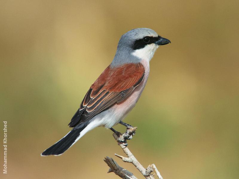 Red-backed Shrike (Male breeding plumage)