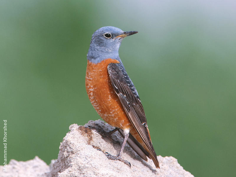 Rufous-tailed Rock Thrush (Male)