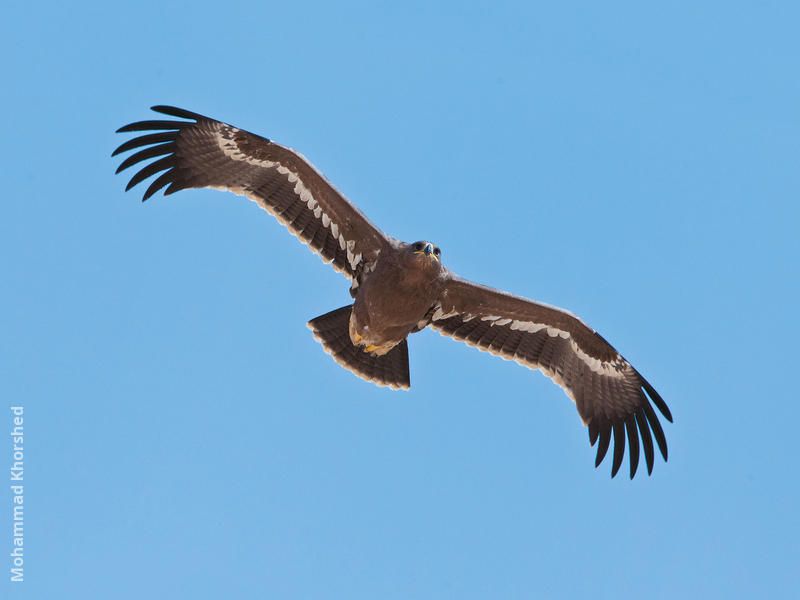 Steppe Eagle (Juvenile)