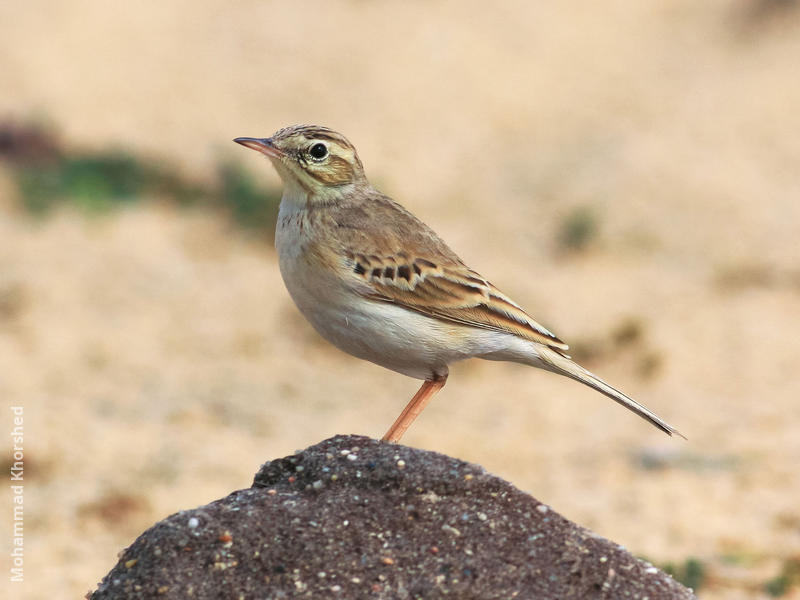 Tawny Pipit (Breeding plumage)