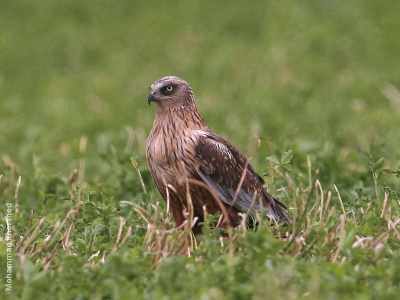 Western Marsh Harrier (Male)