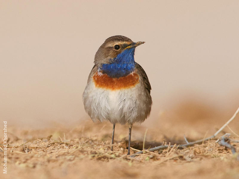 White-spotted Bluethroat (Male)