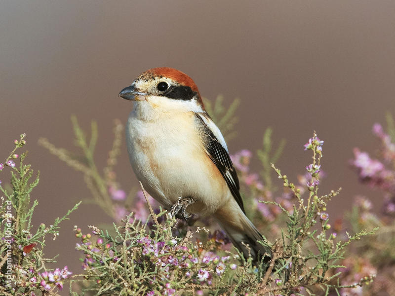 Woodchat Shrike (Immature)