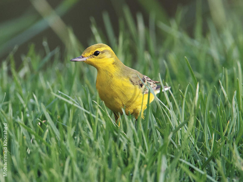 Yellow-headed Wagtail (Male)