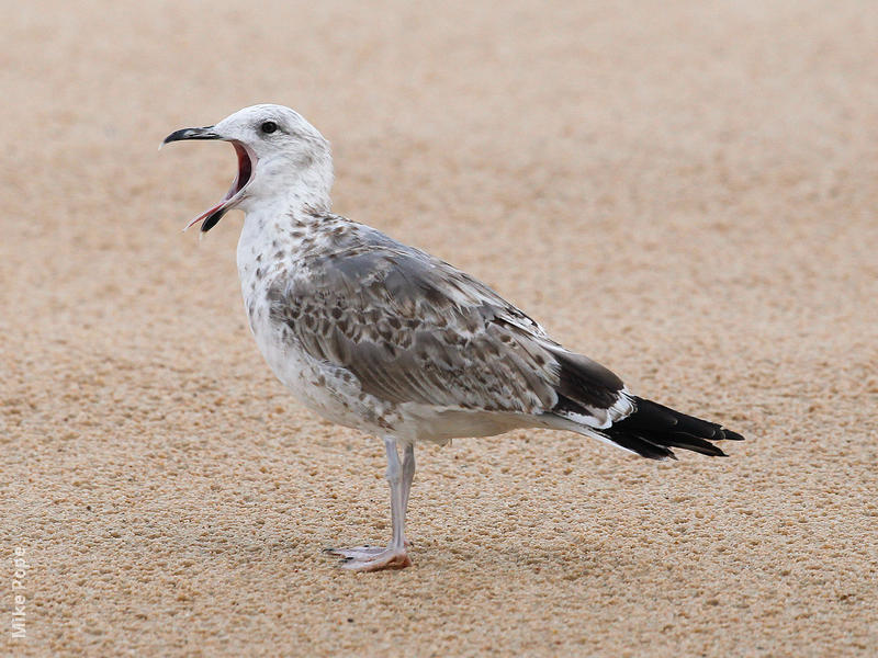 Armenian Gull (immature)