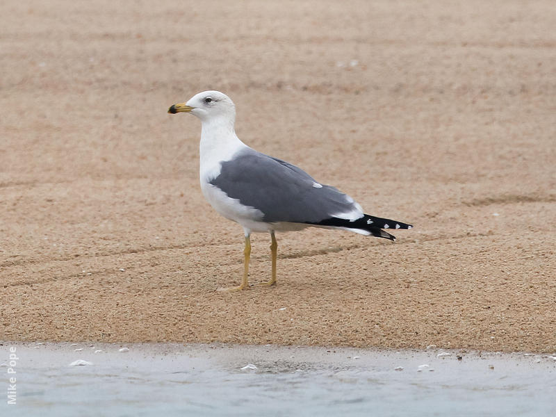 Armenian Gull (Late autumn)