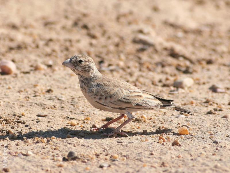 Black-crowned Sparrow-Lark (Femaleorimmature male)