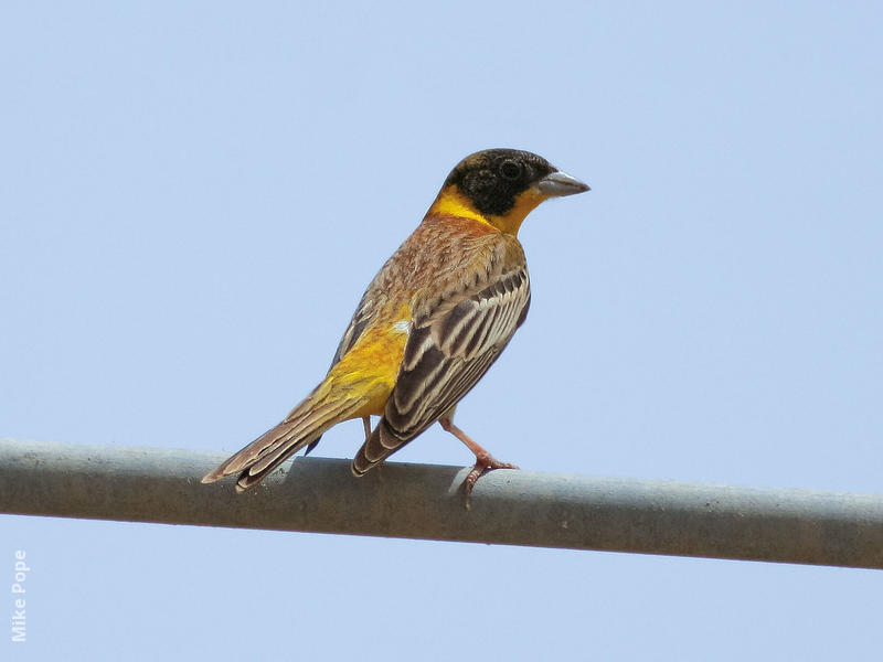Black-headed Bunting (Male spring)