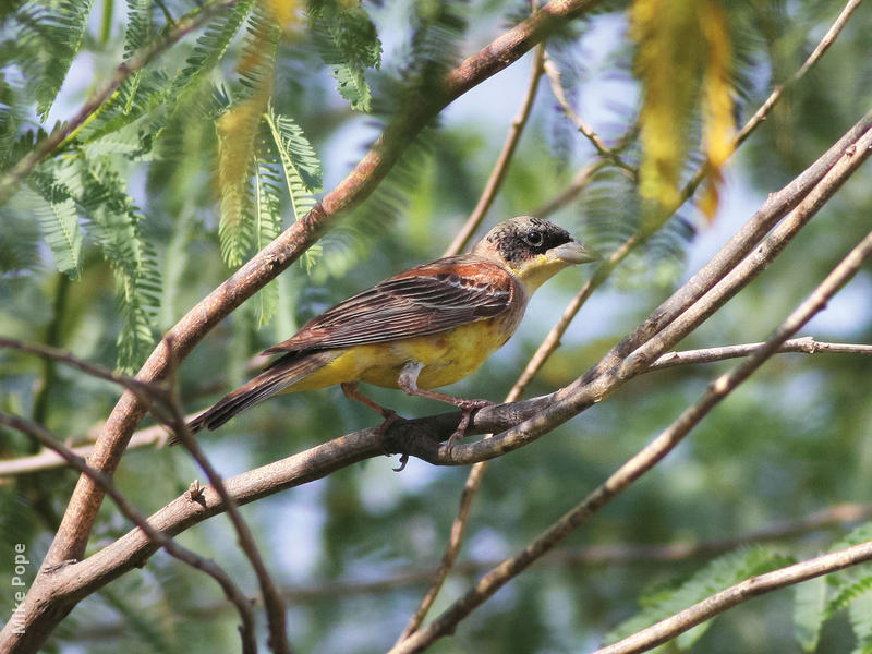 Black-headed Bunting (Male transitional)