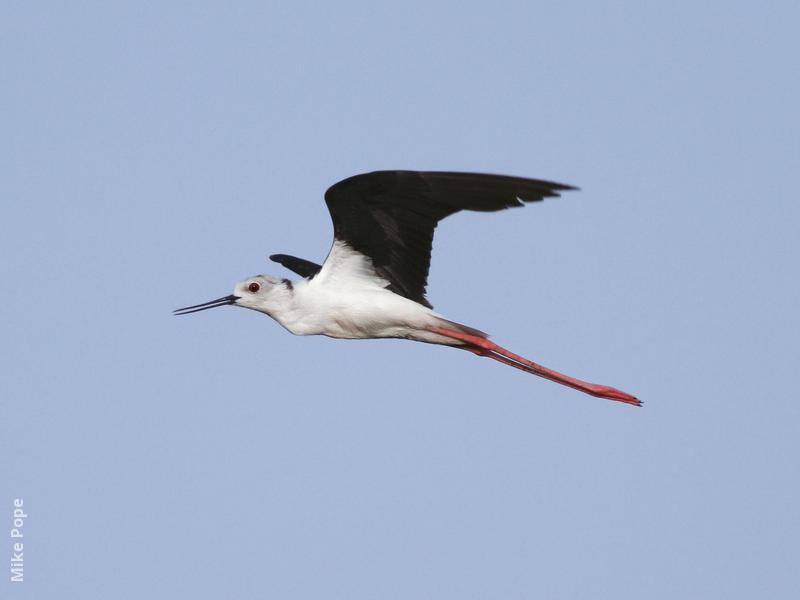 Black-winged Stilt (Male)