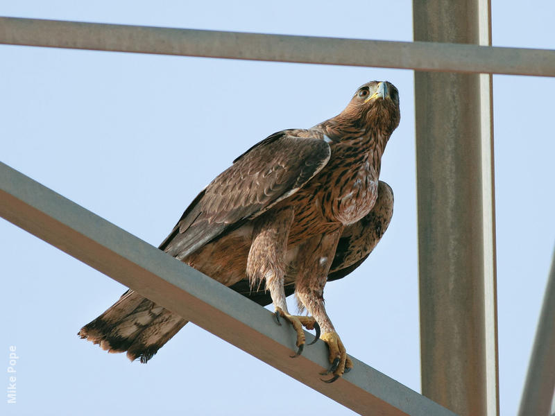 Bonelli's Eagle (Immature)